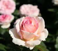 Edelrose 'Souvenir de Baden-Baden®'