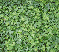 Efeu, grün