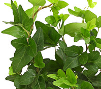 Efeu, grünlaubig