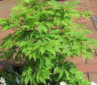 Eisenhutblättriger Japan-Ahorn 'Aconitifolium'