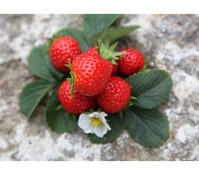 Erdbeere 'Aromastar', 8er Schale