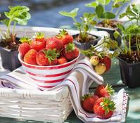 Erdbeere 'Beerenwunder', 8er Schale