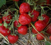 Erdbeere 'HUMMI®-Gento', 8er Schale