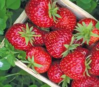 Erdbeere 'Hummi® Herzle', 8er Schale
