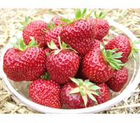 Erdbeere 'HUMMI®-Meraldo' 4er-Pack