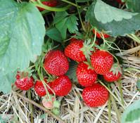 Erdbeere 'HUMMI Rimona®', 4er-Pack