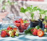 Erdbeere HUMMI`S® 'Sengana®' Selection, 8er Schale