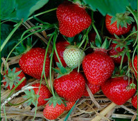 Erdbeere 'Korona', 8er Schale