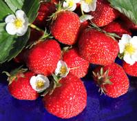 Erdbeere 'Senga Sengana'