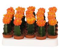Erdbeerkaktus, orange