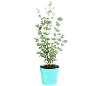 Eukalyptus 'Azura', Busch