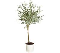 Eukalyptus, Stämmchen