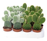 kaktus bei dehner bestechende sch nheiten dehner garten center. Black Bedroom Furniture Sets. Home Design Ideas