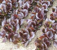 Feldsalat rot, 20er Schale