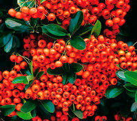 Feuerdorn 'Orange Glow'