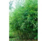 Flachrohr-Bambus