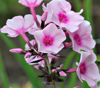 Flammenblume, rosa, 3er Pack