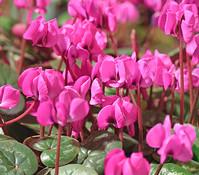 Frühlings-Alpenveilchen - Garten-Alpenveilchen