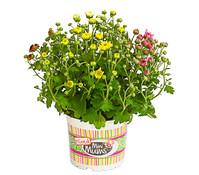 Garten-Chrysantheme 'Quattro'
