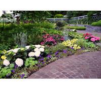 Garten-Hortensie - Bauernhortensie