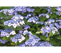 Garten-Hortensie blau