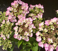Garten-Hortensie rosa, 15 - 60 cm