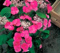 Garten-Hortensie rot