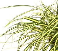 Garten-Segge 'Evergold'
