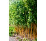 Gelbrinniger Bambus