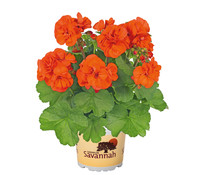 Geranie 'Orange', stehend