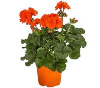 Geranie 'Orange', stehend