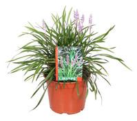 Glöckchentraube - Liriope - Traubenlilie