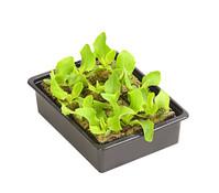 Gourmet Garten Butterkopfsalat