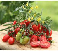 Gourmet Garten Pflaumentomate 'Dasher', veredelt