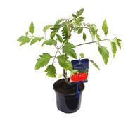 Gourmet Garten Tomate 'Ochsenherz'