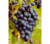 Gourmet Garten Wein 'Muscat Bleu'