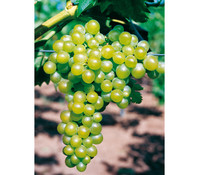 Gourmet Garten Wein 'Palatina'
