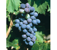 Gourmet Garten Wein 'Pauly'