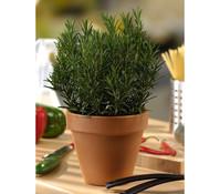 Gourmet GartenRosmarin Busch