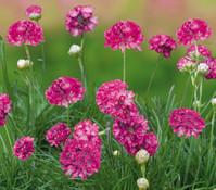 Grasnelke, rosa, 3er Pack
