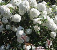 Großblumiger Duft-Schneeball