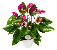 Große Flamingoblume - Anthurie 'Sensa®'