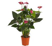 Große Flamingoblume - Anthurie 'Violet Heart'