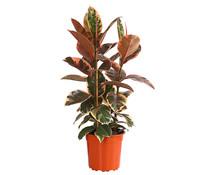 Gummibaum - Ficus 'Belize'