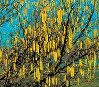 Haselnussbusch 'Rote Zellernuss'