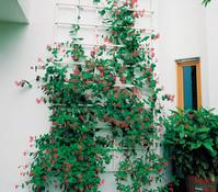 Heckenkirsche 'Dropmore Scarlet' - Geißblatt