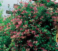 Heckenkirsche - Geißblatt, rot-weiß