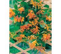 Heckenkirsche - Gold-Geißschlinge, gelb-orange