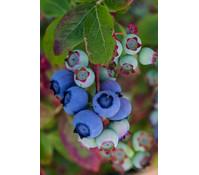 Heidelbeere 'Blue Crope'
