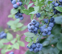 Heidelbeere 'Hardy Blue'